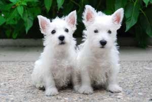 Cachorros de west higland white terrier